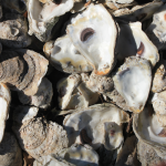Dockside Beaufort Oysters